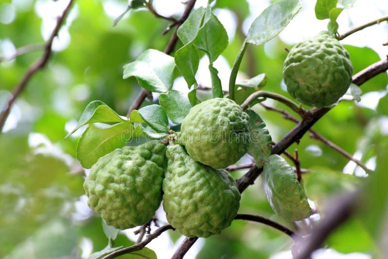 Bergamot, kaffir Lime Leaf farm tree Herb for Bergamot Oil royalty free stock image