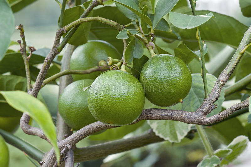 Bergamot orange fruits stock photos