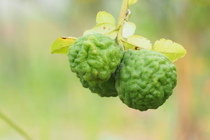 Bergamot on tree. Bergamot tree hair aroma herb cooking healthy nature stock images