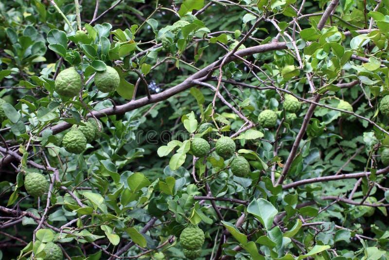 Bergamot tree farm, kaffir Lime Leaf farm Herb for Bergamot Oil stock photo