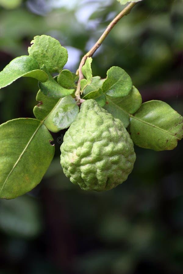 Bergamot on tree farm closeup, kaffir Lime Leaf garden royalty free stock image