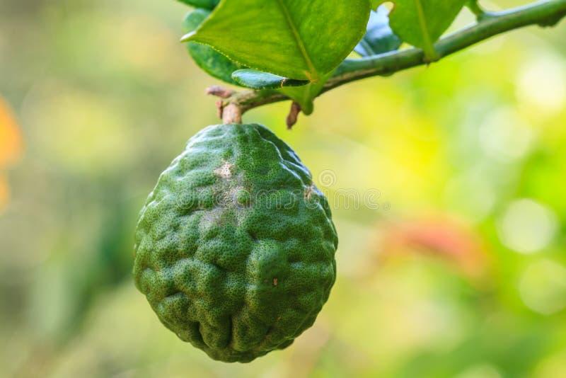 Bergamot on Tree. In gaden, bergamot (Kaffir Lime) fruits royalty free stock photography