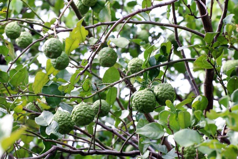 Bergamot tree farm, kaffir Lime Leaf farm Herb for Bergamot Oil royalty free stock photography