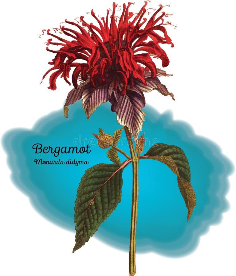 Bergamota ilustração stock