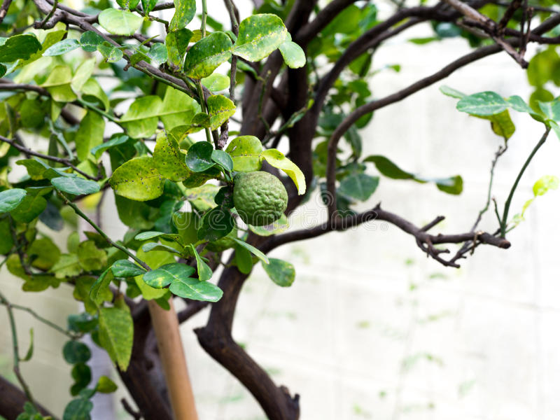 Bergamota del primer o cal verde del cafre en árbol y el árbol de bergamota tiene una enfermedad de la hoja foto de archivo libre de regalías