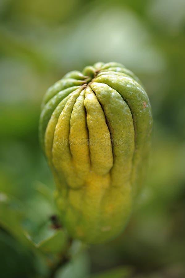 Bergamota en árbol fotos de archivo