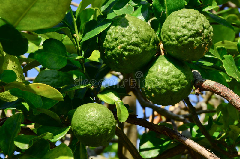 Bergamote. image stock