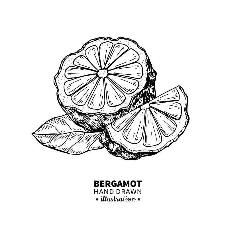 Bergamotowy wektorowy rysunek Odosobniona rocznik ilustracja citru ilustracja wektor