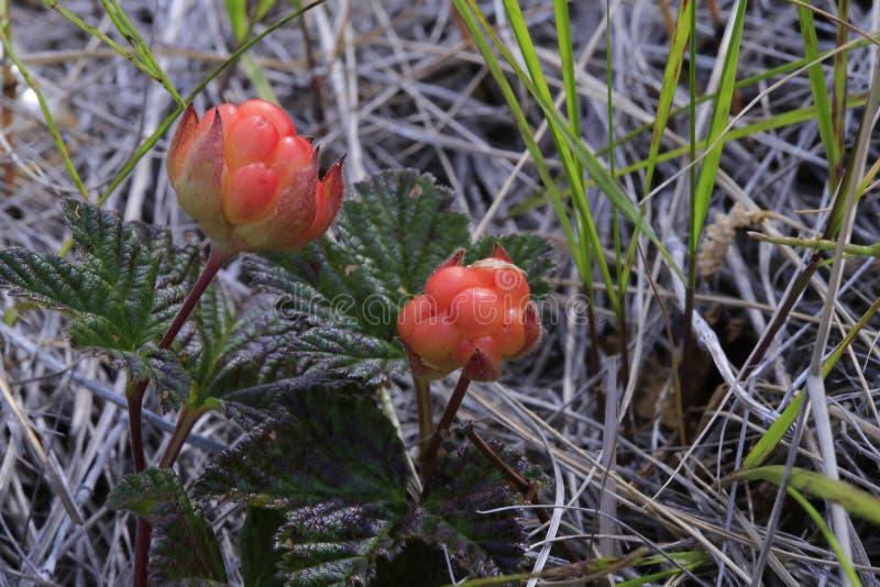 Bergbraambes, species van eeuwigdurende kruidachtige installaties van de soort Rubus-Framboos van het familieroze stock fotografie
