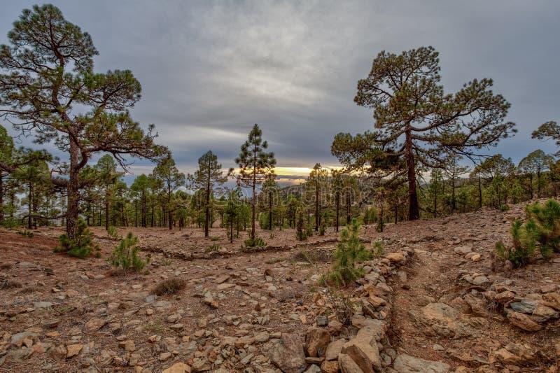 Bergen dichtbij het Nationale Park van Teide Het oude pijnboombos boog, knoestige oude pijnbomen, droogt gevallen boomboomstammen stock fotografie