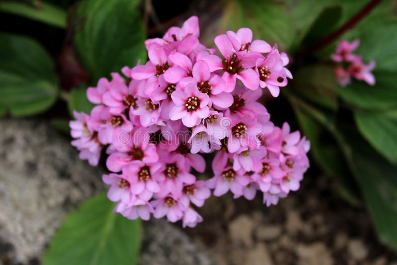 Bergenia or Elephant eared saxifrage rhizomatous evergreen perennial flowering plant with dense bunch of small pink flowers royalty free stock image