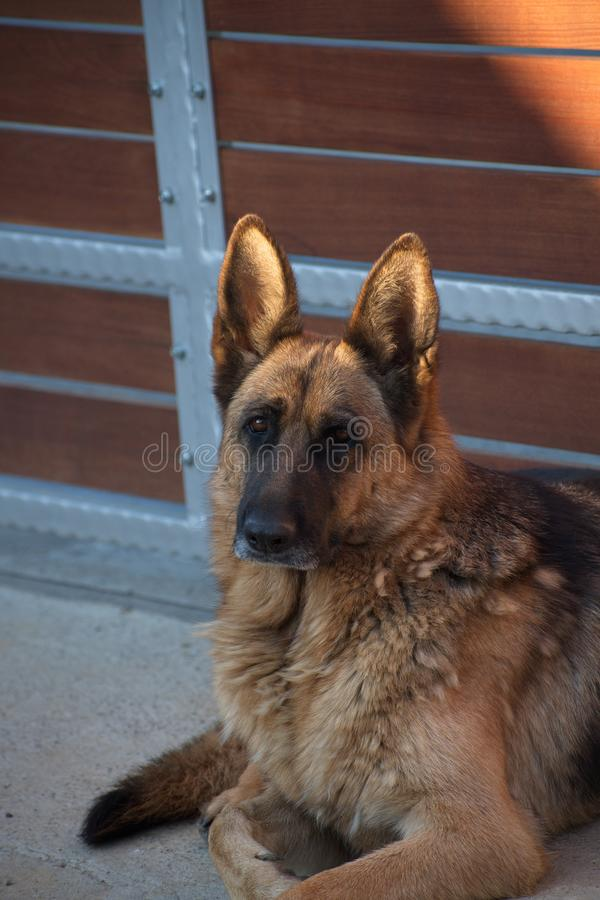 berger allemand photographie stock