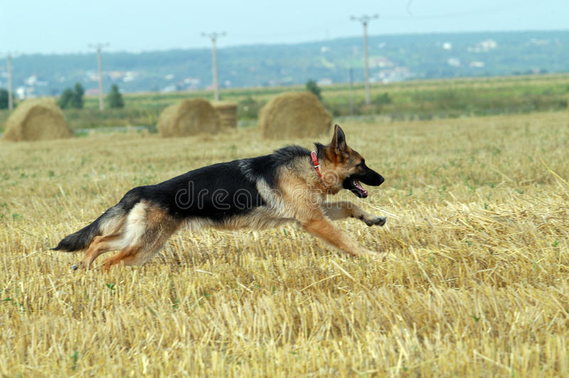 Berger allemand image stock
