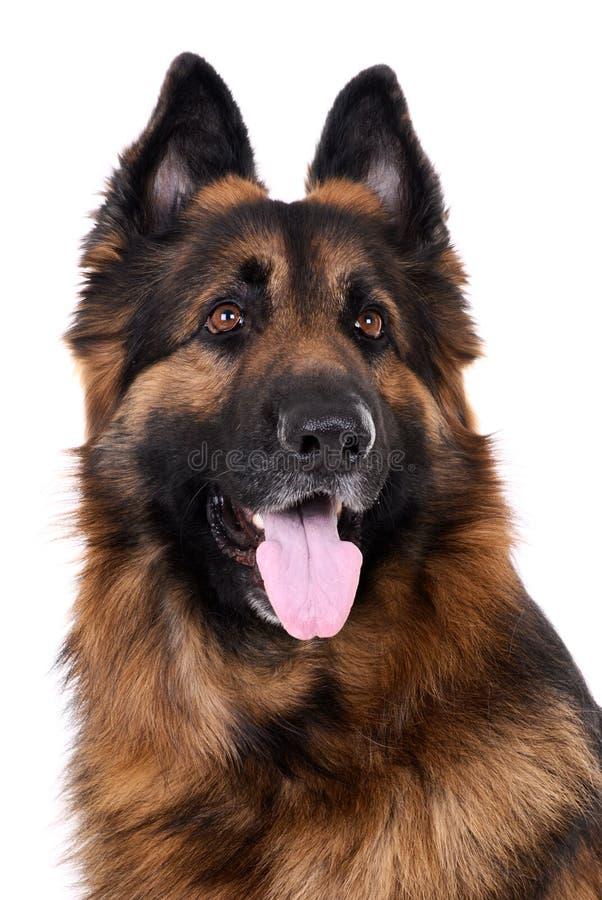 Download Berger allemand photo stock. Image du pedigreed, alsacien - 8662042