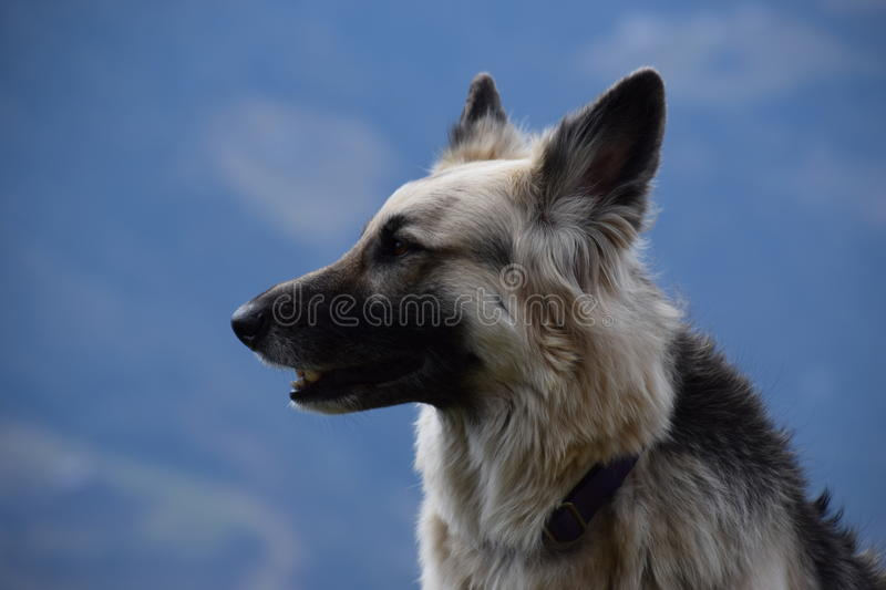 Berger allemand au foyer photo stock