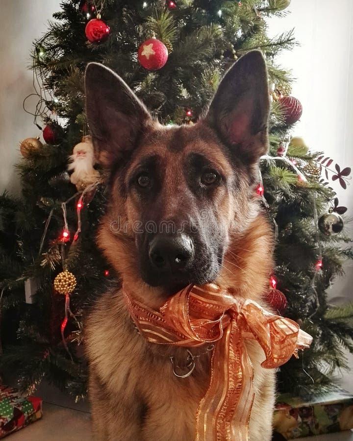Berger allemand avec l'arc à Noël photo stock