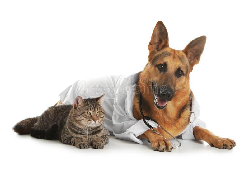 Berger allemand avec le stéthoscope habillé comme Doc. de vétérinaire et chat image stock