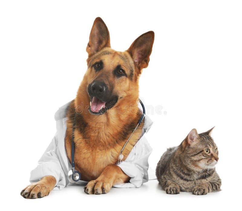Berger allemand avec le stéthoscope habillé comme Doc. de vétérinaire et chat images libres de droits