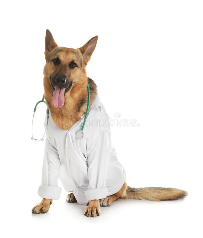 Berger allemand avec le stéthoscope habillé comme Doc. de vétérinaire sur le blanc image libre de droits