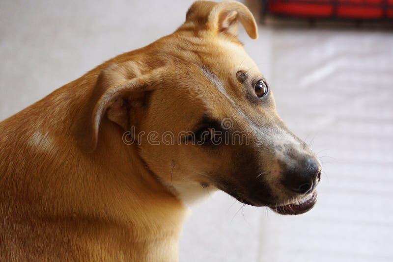 Berger allemand, chien de laboratoire avec le sourire image libre de droits