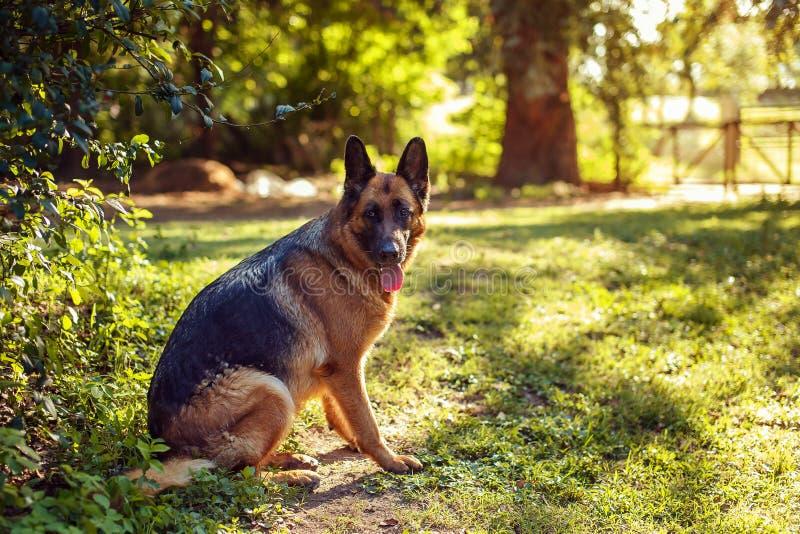 Berger allemand de beau chien dans le jardin images stock