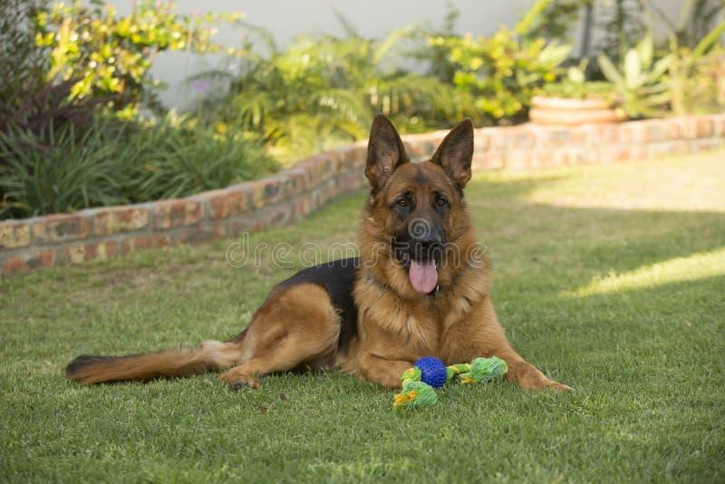 Berger allemand de race Dog de mâle adulte photo stock