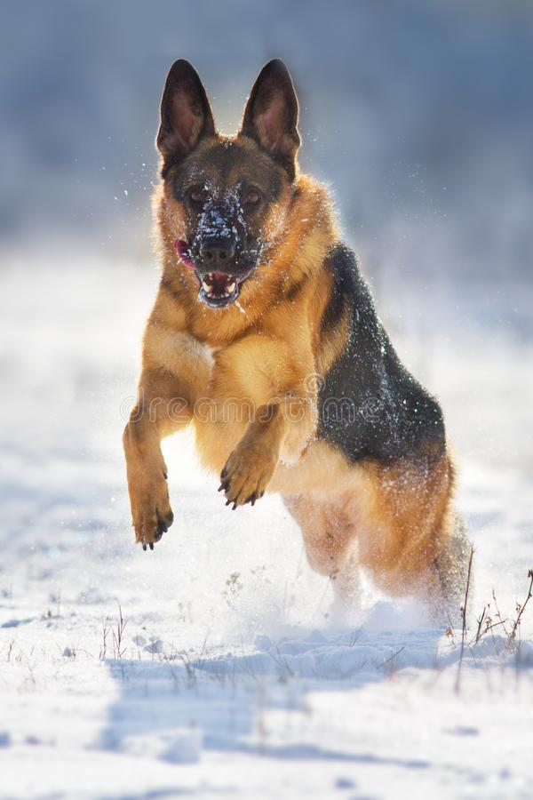 Berger allemand Dog images stock