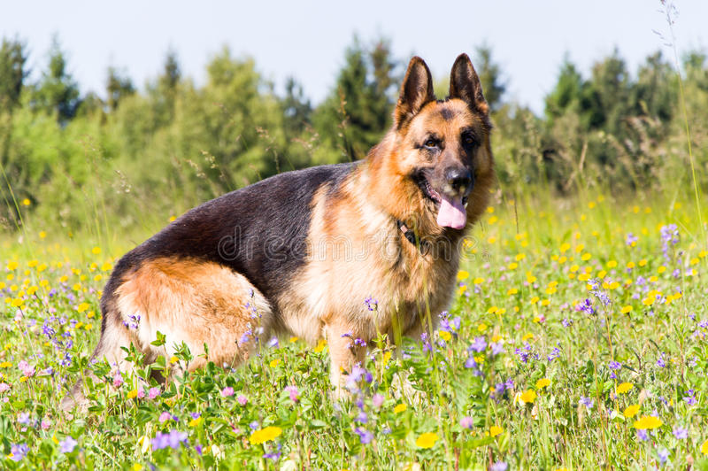 Berger allemand Dog image stock