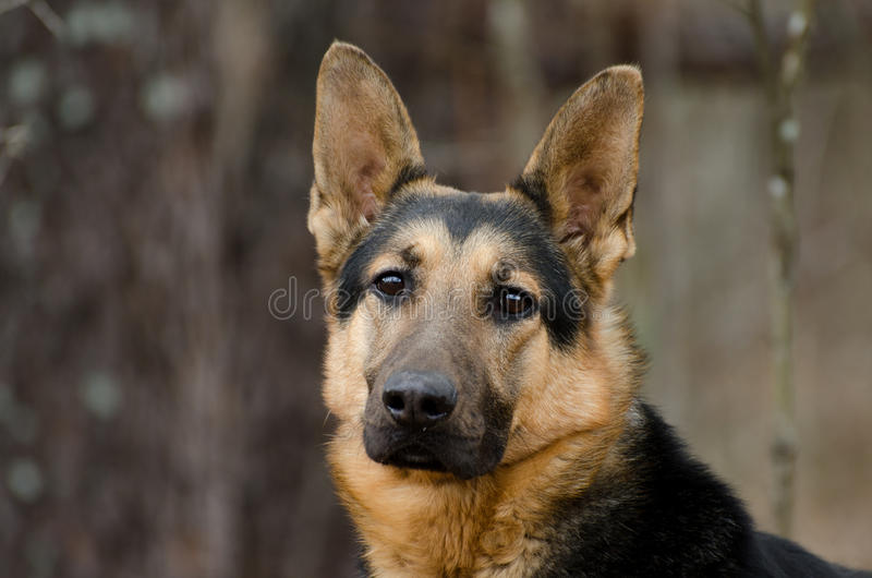 Berger allemand Dog image stock