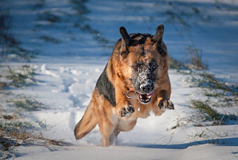 Berger allemand Dog dans la neige image stock