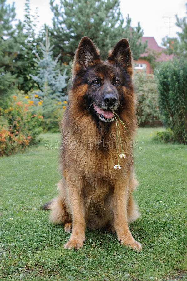 Berger allemand Dog dans un jardin photographie stock