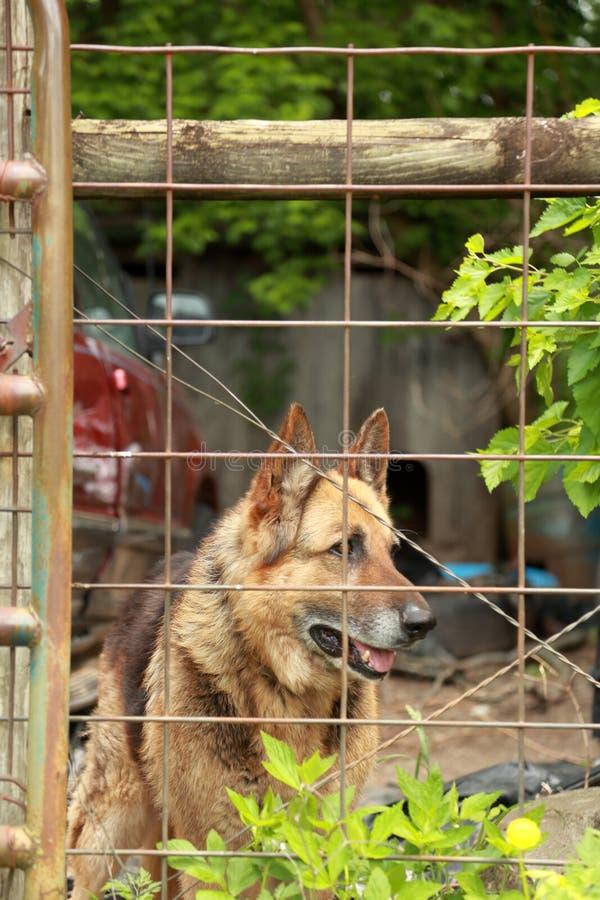Berger allemand Dog derrière la barrière images stock