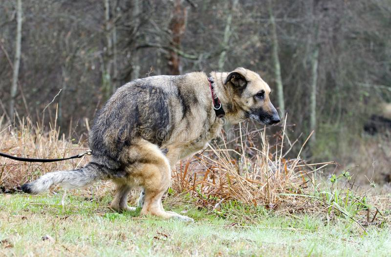 Berger allemand Dog pooping dans la cour photographie stock