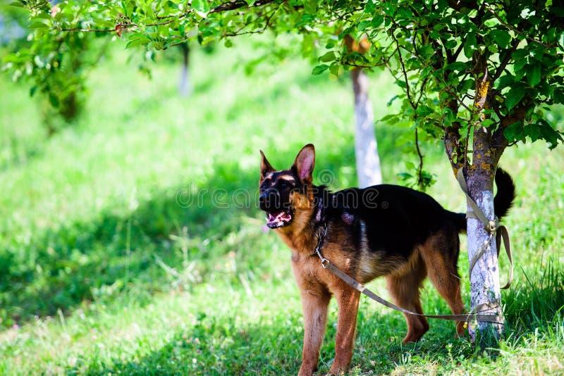 Berger allemand Dog sur l'herbe verte image libre de droits