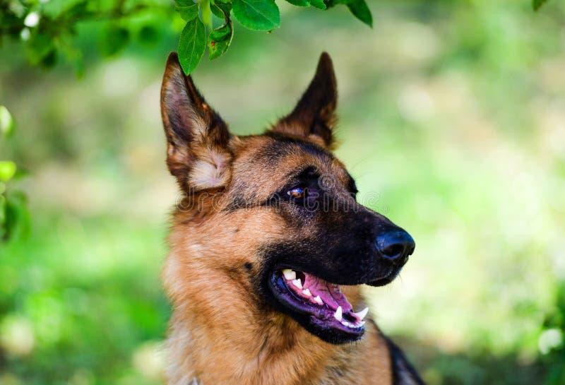 Berger allemand Dog sur l'herbe verte photo libre de droits
