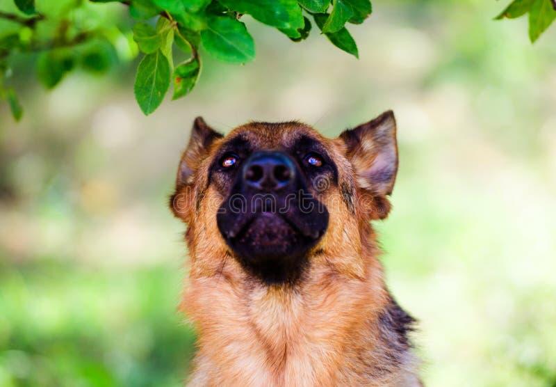 Berger allemand Dog sur l'herbe verte photo stock