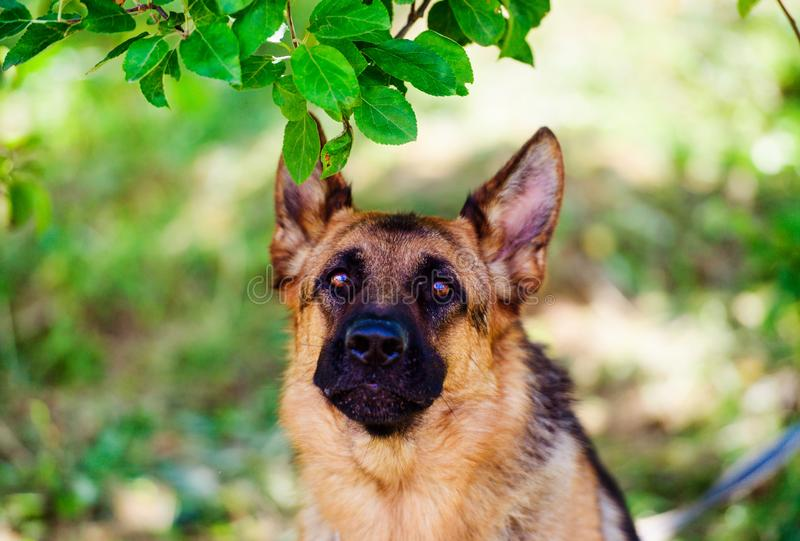 Berger allemand Dog sur l'herbe verte photos libres de droits
