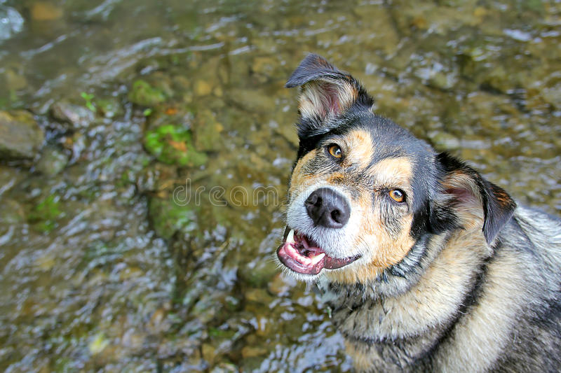 Berger allemand heureux Mix Dog Swimming dans le courant photo stock