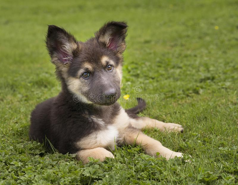 Berger allemand mignon Puppy dans l'herbe photos stock