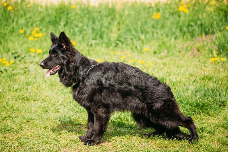 Berger allemand noir Dog Sit In Green Grass Alsacien Wolf Dog photo stock