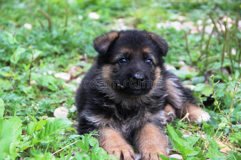 Berger allemand Puppy images stock