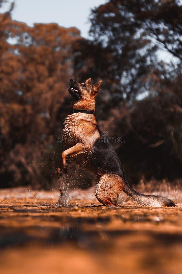 Berger allemand sautant sur la rivière photo stock