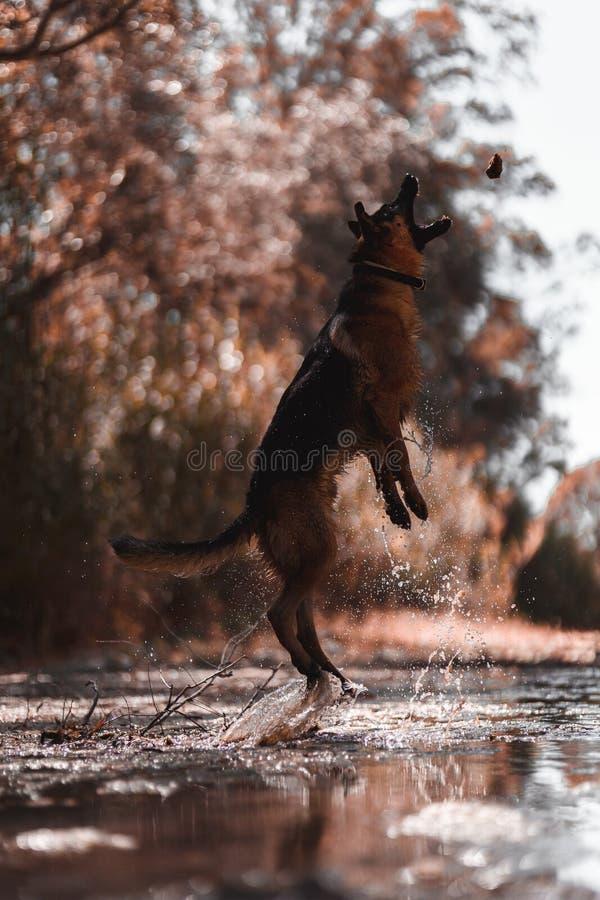 Berger allemand sautant sur la rivière image libre de droits