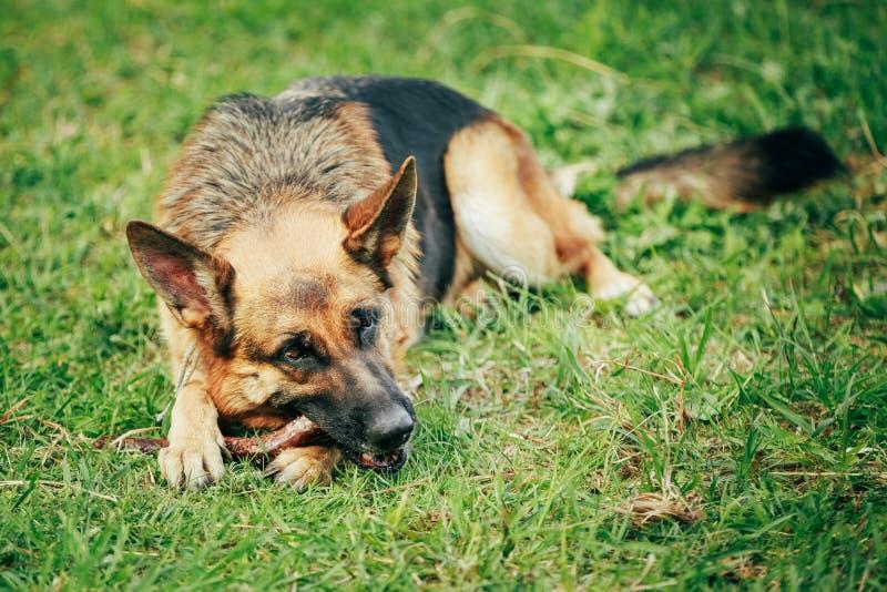 Berger allemand Stick Chewing Outdoor photo libre de droits