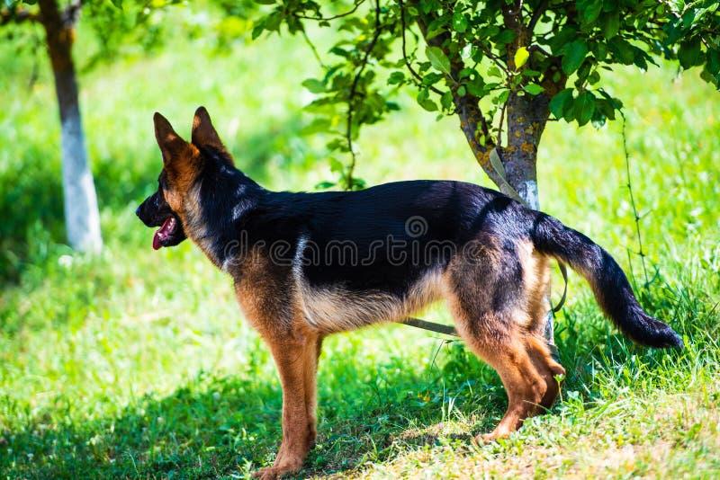 berger allemand sur l'herbe verte image stock