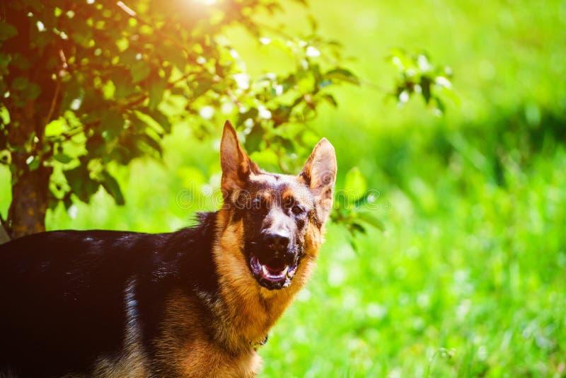 berger allemand sur l'herbe verte images libres de droits