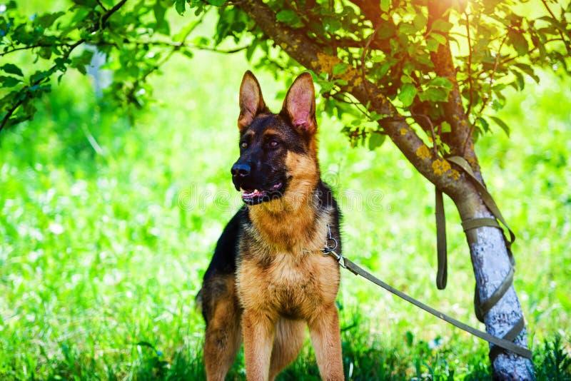 berger allemand sur l'herbe verte image libre de droits