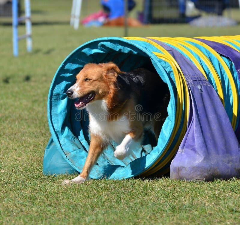 Berger anglais à un procès d'agilité de chien photographie stock