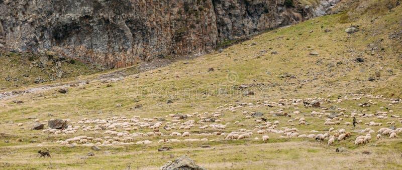 Berger asiatique central Dog Tending Sheep dans les montagnes de la Géorgie images libres de droits