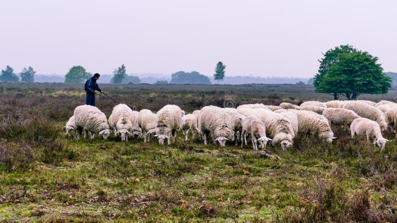Berger avec Veluwe Heath Sheep sur l'Ermelo Heath images libres de droits
